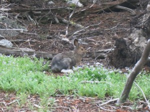 The first time I've seen a Snowshoe Hare.